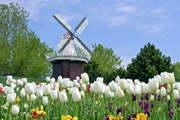 只有去荷兰一次,才知道郁金香和风车王国有多美!