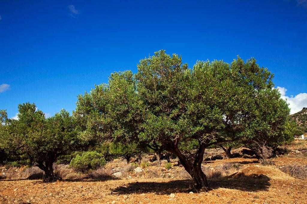 Greece, Kos, Southern Europe; Olive trees