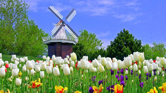 Holland Michigan Tulip Festival - Windmill and Tulip Flowers