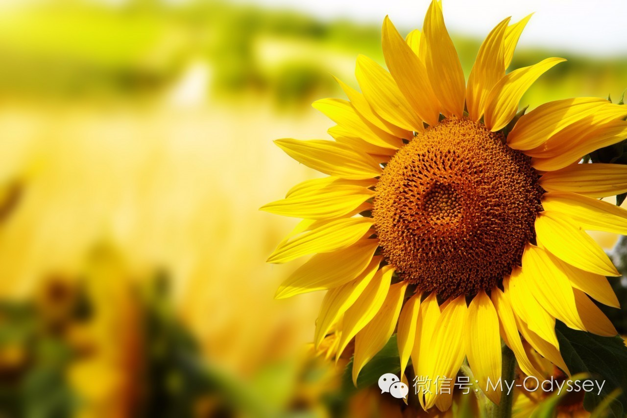 sunflower_11