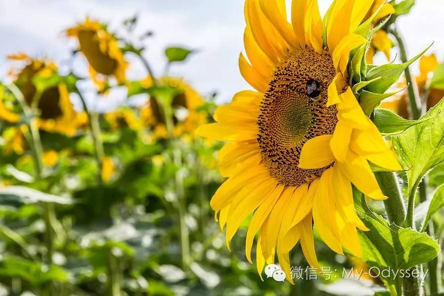 sunflower_4