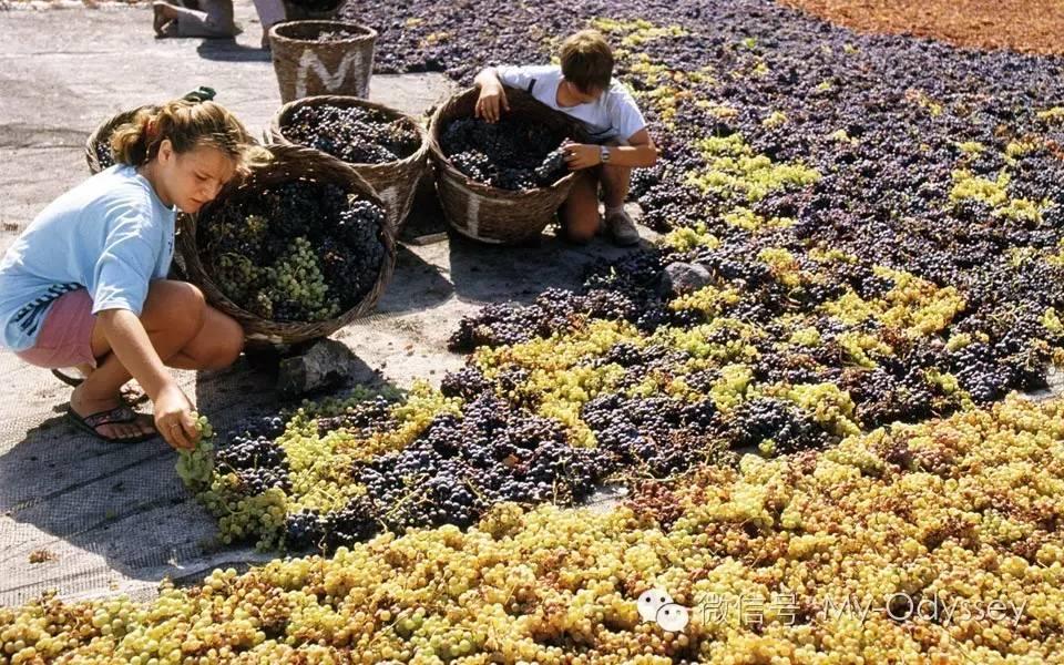 希腊的秋天脚踩葡萄酿酒,涌向葡萄园并度过忙碌的一天