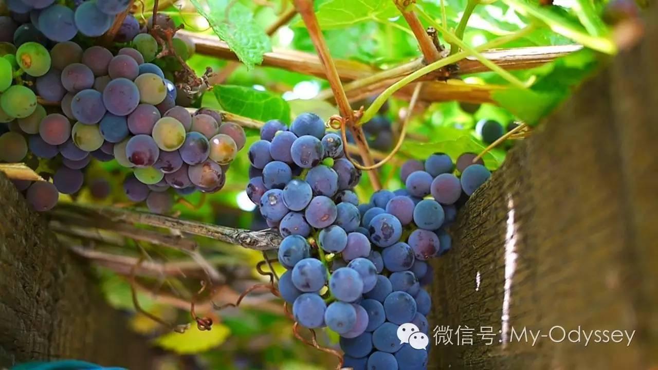 希腊的秋天果实在树上或藤蔓上成熟
