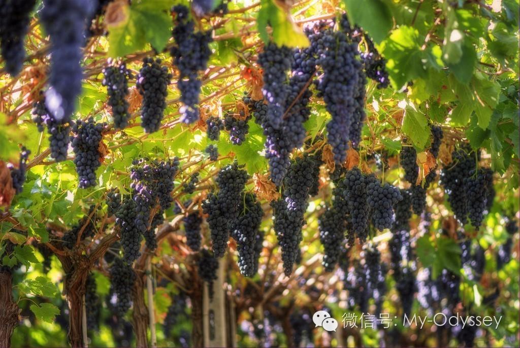 希腊的秋天小麦收割,葡萄采摘和战争