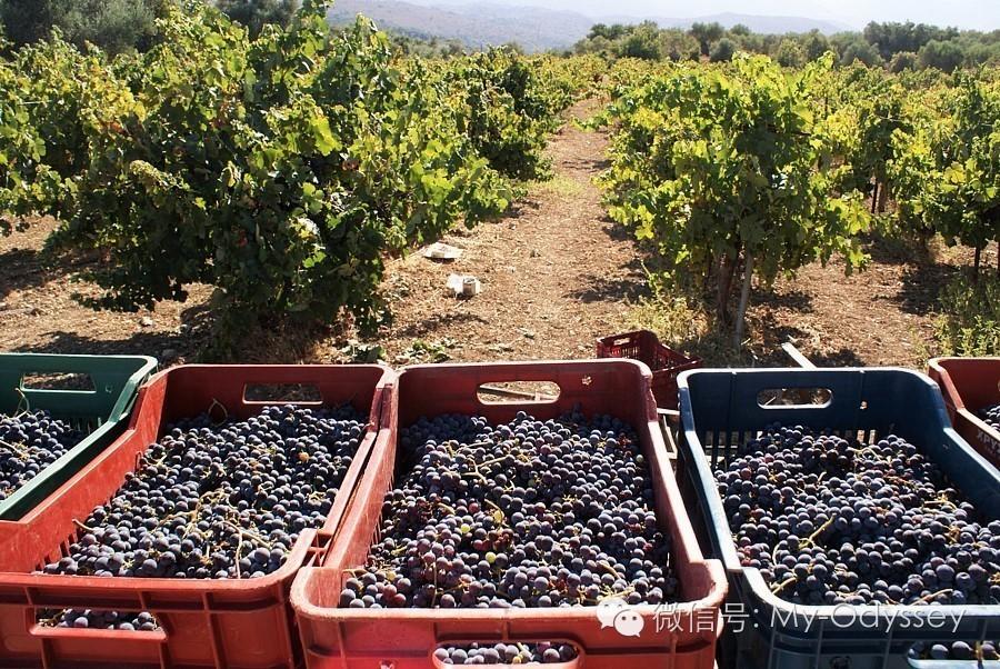 希腊的秋天葡萄采摘