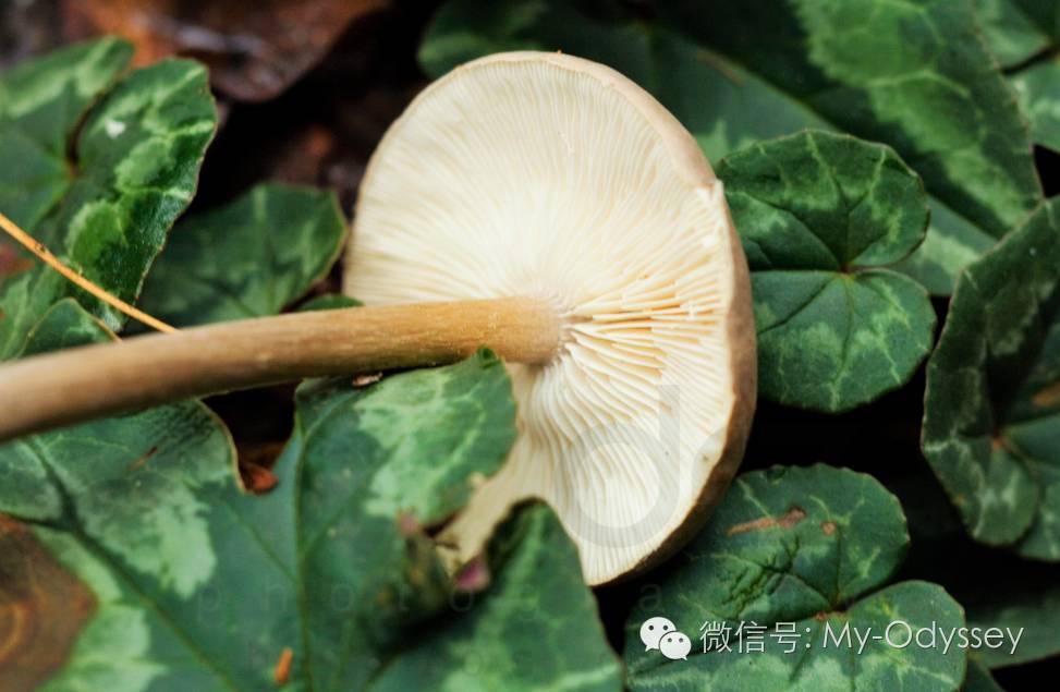 格雷韦纳出产的菌菇品种超过2600种