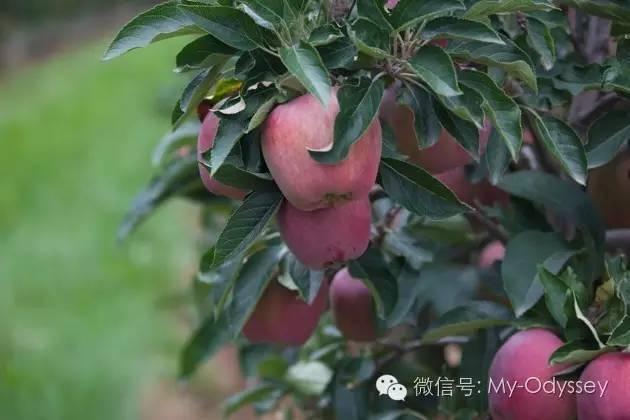 梅拉诺 苹果园